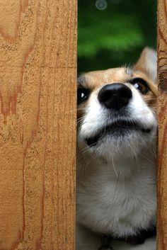 I see you #corgi