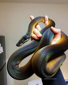 absolutely free sweet snake pet guys exceptional : Most of us often get queries about what is a great beginner-friendly snake for people new to the hobby. Starter that means moderately straightforward . Pretty Snakes, Cool Snakes, Colorful Snakes, Beautiful Snakes, Les Reptiles, Cute Reptiles, Reptiles And Amphibians, Cute Baby Animals, Animals And Pets