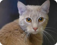 Casey, a cat for adoption.