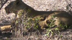 2 Lionesses with their small cubs hiding in thick bushes. Male Lion, Cubs, Lions, Animals, Lion, Animales, Bear Cubs, Animaux, Animal Memes