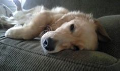 Sleepy time!! www,totallygoldens.com