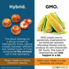 Hybridized foods are not the same as GE foods or GMOs. The simple difference is one is made in nature with nature and the other was manipulated in a lab. Learn more here: www.gmoinside.org/faq