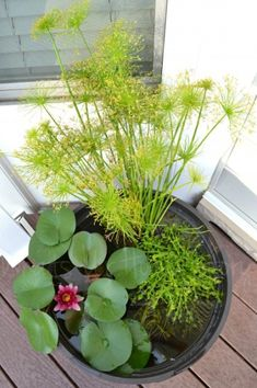 Whats Ur Home Story: DIY Water Garden, how to make a water garden on the deck; water lily, dwarf papyrus, blue moneywort, water garden plants