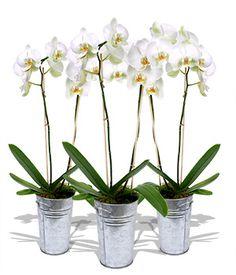 I love white orchids :)