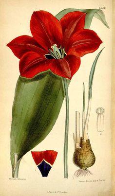 4140 Tulipa gesneriana L. [as Tulipa didieri Jord.] / Curtis's Botanical Magazine, vol. 108 [ser. 3, vol. 38]: t. 6639 (1882) [M. Smith]