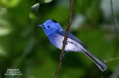 black-naped monarch - Saferbrowser Yahoo Image Search Results