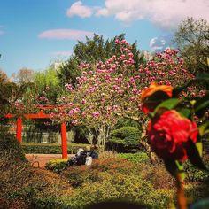 Fancy Im April wenn alles zu bl hen beginnt ist es einfach traumhaft sch n im Japanischen KarlsruheZoologischerMagnolienSamstagJapanischeSehenEinfach Garten