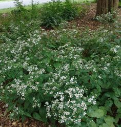 Aster divaricatus White wood aster from North Creek Nurseries North Creek, Garden Shade, Deer Resistant Plants, Autumn Bride, Of Montreal, Rain Garden, White Gardens, Flowers Perennials, Shade Plants