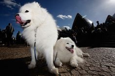 Samoyed... I will also own you one day!
