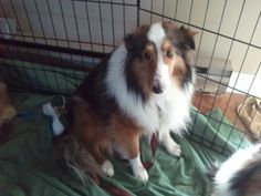 Marty is an adoptable Shetland Sheepdog Sheltie Dog in New Albany, IN. Marty is from a midwest puppy mill. He is shy but friendly.  Marty requires a securely fenced yard in his new forever home. Onc...