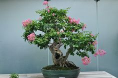 A Crepe Myrtle bonsai - something I'd love to grow!