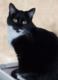 CODE RED!!!  SUPER URGENT!!~~~Meet Ethel, an adoptable Domestic Short Hair-black and white looking for a forever home. If you're looking for a new pet to adopt or want information on how to get involved with adoptable pets, Petfinder.com is a great resource.