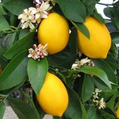 Micronutrient deficiencies in citirus:   spraying the foliage with a chelated iron, zinc and manganese solution will prevent micronutrient deficiencies