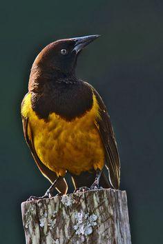 Chopim-do-brejo, Pássaro-preto-do-brejo, Dragão-do-brejo, Melro-amarelo, Melro-d'angola, Melro-mineiro, Melro-pintado-do-brejo ou Pássaro-preto-soldado (Pseudoleistes guirahuro)