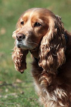 sussex spaniel Love all types of spaniels