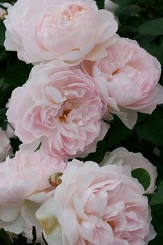 Gentle Hermione - English Rose