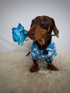@schmitt.happenss on Instagram ♥️FOLLOW ON INSTAGRAM FOR MORE♥️ #dachshund#miniaturedachshund#doxie#dackel#teckel#dogs#puppy#love#cute#animals#photography#sausagedog#wienerdog#wiener#hotdog#sausage#weeniedog#puppylove#puppyfat#fluffy#adorable