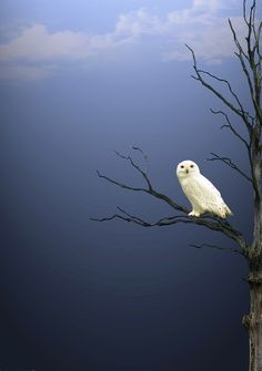 Snowy Owl(Bubo scandiacus). The ghost-like snowy owl has unmistakable white plumage that echoes its Arctic origins. Only the males are completely white.