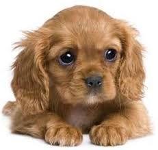 спаниель щенок - Поиск в Google