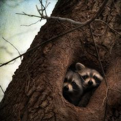 Racoons in a tree - cute