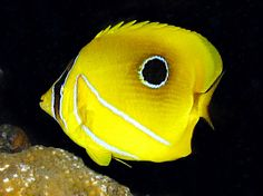 Blue-lashed butterflyfish