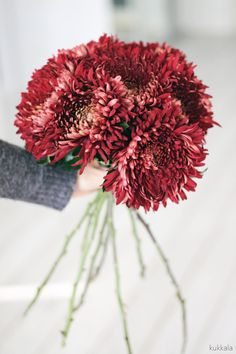 KUKKALA: Marsala plants & flowers / Urban Jungle Bloggers #chrysanthemum