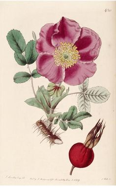 Rosa ferox (Hedgehog rose). Plate from 'The Botanical Register' (1819) by Sydenham Edwards.