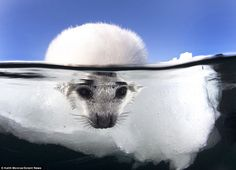 It's not too cold is it mum? Cute baby seal tests the temperature of the water by cautiously dipping its head in before going for a swim | Daily Mail Online
