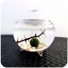 Japanese Marimo Moss Ball Single Globe Aquarium by AGiftofNature, $23.00