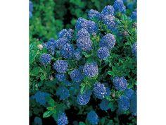 Immergrüne Säckelblume Blauer Ceanothus 'Blue Mound', 1 Pflanze 1