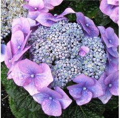 close up photo of purple hydrangea flower.