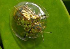 Escarabajos tortuga