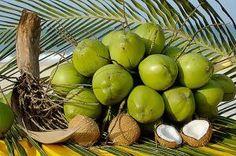 Como plantar um coqueiro
