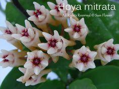 Hoya mitrata