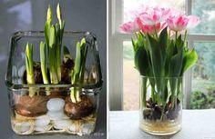 Вырастить тюльпаны в вазе с водой, без посадки луковиц в почву, вполне возможно. Но для этого нужно следовать ряду правил.        Возьмите стеклянную вазу, засыпьте в неё чистые камешки или прозрачные стеклянные шарики, которые должны занять ориентировочно 1/3 вазы.    Положите на них луковицы тюльп