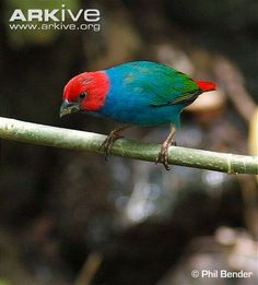 See photos of the Royal parrotfinch on ARKive. Classified as Vulnerable (VU) on the IUCN Red List.
