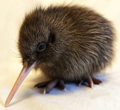 Kiwis for kiwi a national charity supporting community-led and Maori-led kiwi conservation projects. Our vision to take kiwi from endangered to everywhere. Cute Baby Animals, Animals And Pets, Baby Kiwi, Kiwi Bird, Flightless Bird, Mundo Animal, Tier Fotos, Bird Drawings, Fauna