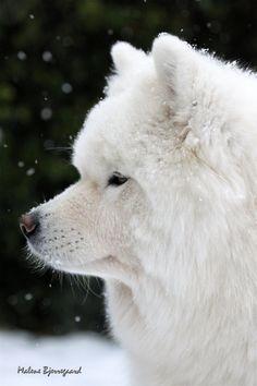 Samoyed.  So beautiful!