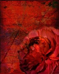 Ruby Peony on Red Abstract