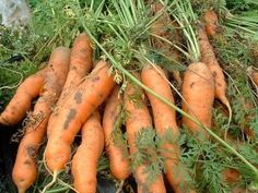 Carrot Harvest Time: How And When To Pick Carrots In The Garden - Carrots are easy to grow in a garden with deep, loose soil. Growing and harvesting carrots is a great way to take advantage of their nutritional benefits. Learn how to tell when carrots are ready to harvest here.