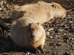 http://famitrip.ldblog.jp Capybara - Oshima Park Zoo in Izu Oshima Island, Japan カピバラ。ゆるいのは全国共通(*^^*)