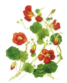 Tropaeolum majus (Nasturtium) - Botanical illustration by Milly Acharya