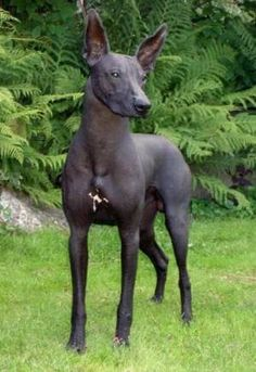 The Medio Inca Hairless Dog was bred by the ancient Inca of Peru for hunting.  It is a smaller version of the similar Grande.  Inca Hairless Dogs resemble the (also usually hairless) Inca Orchid dog, but have a longer neck & more athletic legs to serve them in hunting.  They are good with children & tolerant of any climate, but they require a lot of exercise and are not comfortable in small spaces.