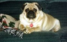 This Is The Pimp Daddy Pug!