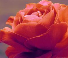 Orange Rose Pictures For Wallpaper   Download Orange Rose Wallpaper For Samsung Galaxy Tab