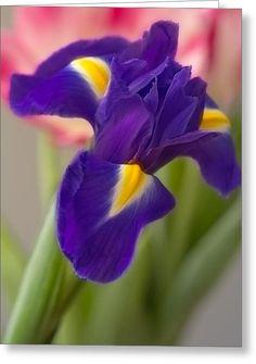 Stunning Iris Greeting Card by Yana Reint Wonderful Iris With Dew Greeting Card by Yana Reint  #YanaReint #YanaReintFineArtPhotography #FineArt #Greetingcards #postcards #Iris #lovely iris #flowers
