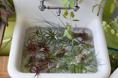 """For the novice keeper of plants, you may think that """"air plant"""" means it can survive just on air alone, but that's not true. Here's what you need to know about Tillandsia plant care in the home."""