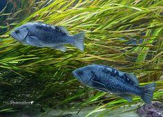 Blue fish by gigi50.deviantart.com on @DeviantArt