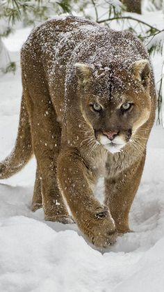 Mountain Lion or Puma? Nature Animals, Zoo Animals, Animals And Pets, Cute Animals, Big Cats, Cats And Kittens, Cute Cats, Beautiful Cats, Animals Beautiful