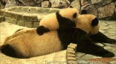 Cute baby panda | Gay3ty